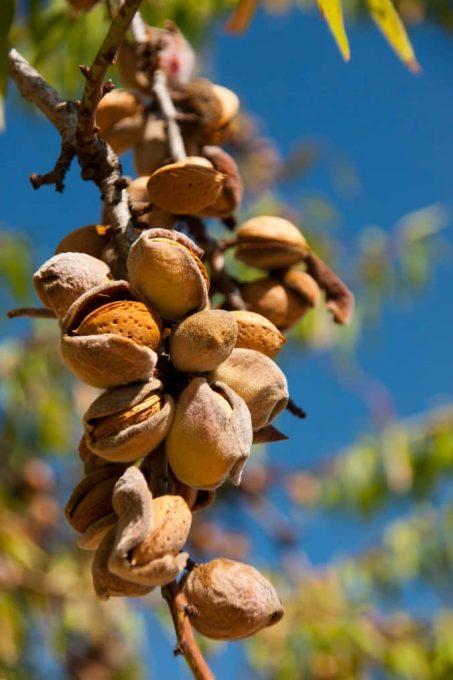 Badem ağacı, badem ağacı budaması, badem budama, budama nasıl yapılır.
