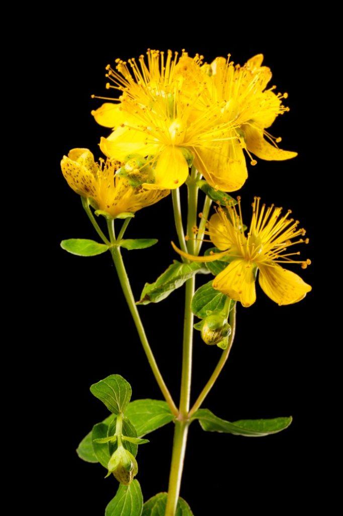Sarı Kantaron Yetiştiriciliği