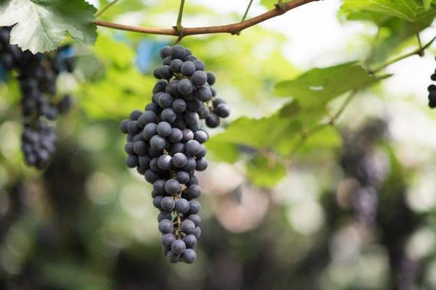 üzüm yetiştiriciliği - bağcılık - üzüm tarımı - üzüm gübresi