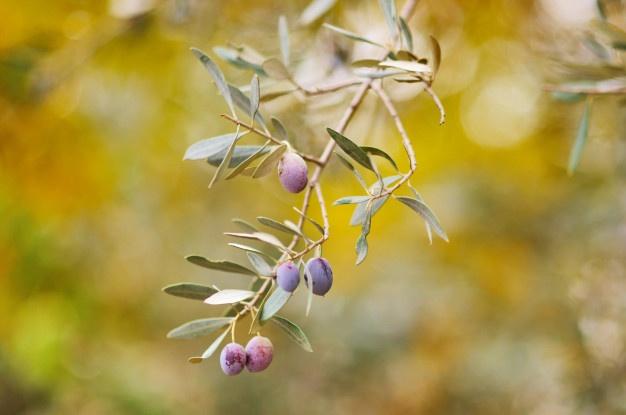 zeytin yetiştiriciliği, zeytin gübresi