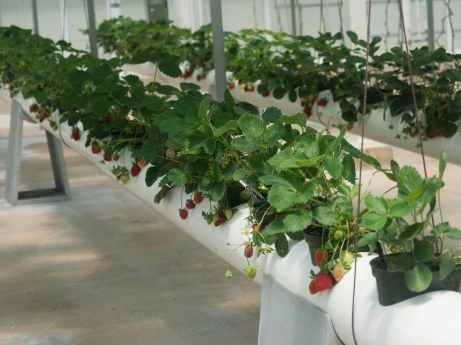 topraksız tarım, hidroponik